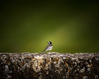 Pied Wagtail I