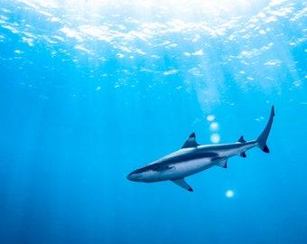 Shark Shallow