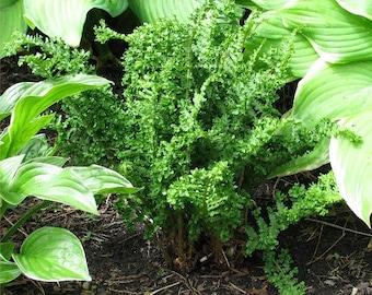 Male Fern  Dryopteris filix-mas 'Parsley'