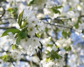 Photo Art deco frame - cherry flowers spring decor