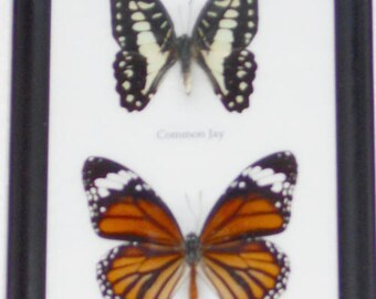 Real 2 Beautiful Specimen Butterfly Taxidermy Collection in frame /BF02A