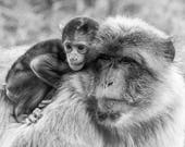 Barbary Macaque Blank Gre...