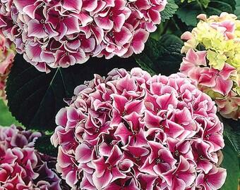 Hydrangea 'Harlequin': Bigleaf Hydrangea, Mophead Hydrangea