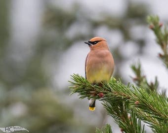 Cedar Waxwing in conifer: small print, canvas