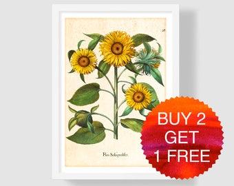 Sunflower Art Print, Vintage Sunflower Wall Decor, Sunflower Wall Art, Sunflower Botanical Art, Besler Sunflower Illustration, Sunflower Art