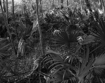 Botanical Print, Black and White Fine Art Photography of Texas Palm Forest, Prints, Forest Photography, Wall Art Prints, Office Decor