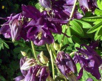 50+ Dark Purple European Columbine Seeds - Aquilegia - Perennial Flower
