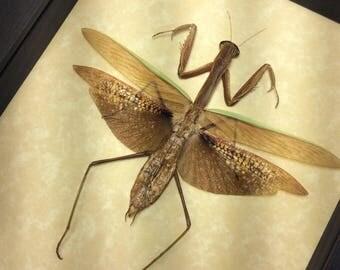 Real Framed Praying Mantis Mantidae Sp- Mottled 8285M