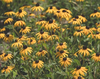 Black Eyed Susan Botanical Print Nature Photography Yellow Flower Photography Garden Art