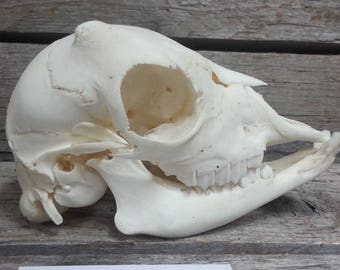 Goat Kid Skull- Collector Quality Cleaned- Lot No. 170605-Z