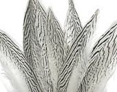 """Pheasant Feathers, 10 Pieces - 10-12"""" NATURAL SILVER Tail pheasant feathers : 3281"""