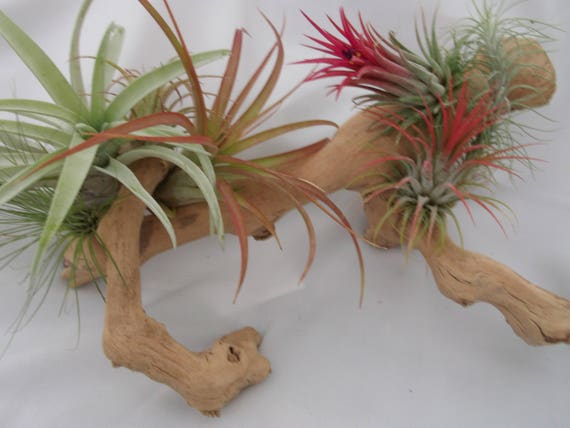 Grapevine wood airplant arrangement is ready for a tablescape