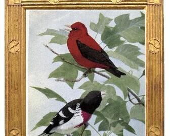 Redcoat Scarlet Tanager  Rosiebreast Grosbeak bookplate 1922  Louis  Agassiz Fuertis