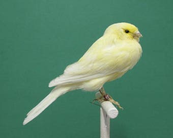 Perched Lemon Yellow Canary Real Bird Taxidermy Mount