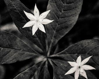 starflower, 8x10 fine art black & white photograph, nature
