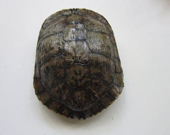 Turtle Shells  Red Eared Slider 8 x 8 Long Carapace Taxidermy 3