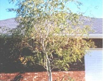 100 Whitespire Birch Tree Seeds, Betula platyphylla, japonica