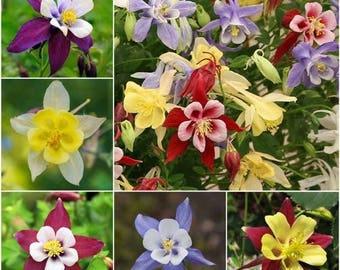 Columbine Seeds, Flower, Perennial, McKana Mix Flowers, 25 Seeds