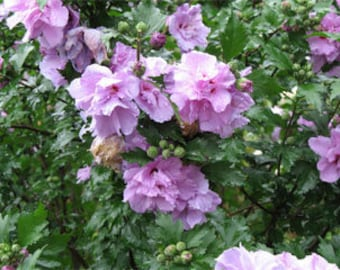 Double Purple Althea, Rose of Sharon, 1 gallon, Bare root