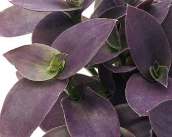 Wandering Jew Purple Fuzzy