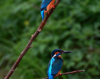 Photo print 'A pair of Kingfishers'