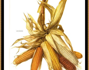 "Corn Illustrated by Marilena Pistoia for the book Fruits of the Earth. The page is approx. 8"" by 11 1/2"""