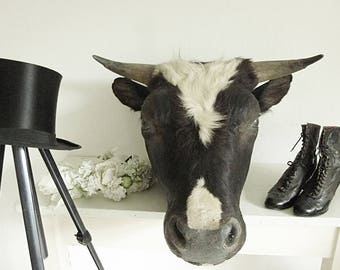 Real antique Taxidermy, bull, taurus, black-and-white (Holstein-Friesian), Germany, 1920-1940, well preserved....CHARMANT!