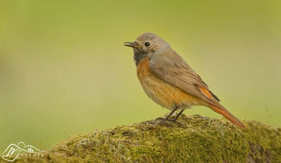 Redstart (Female) [Photographic Print]