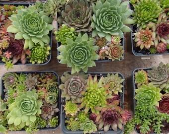 Succulent live plant set