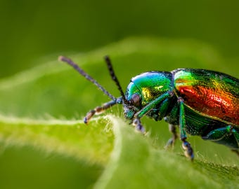 Digital Download: Dogbane Leaf Beetle photo