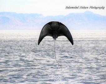 Jumping Stingray Photo - Animal Photo - 11 x 14 Matted Original Photography