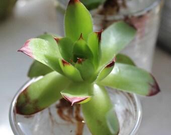 Hen & Chicks Succulent (Sempervivum calcareum)