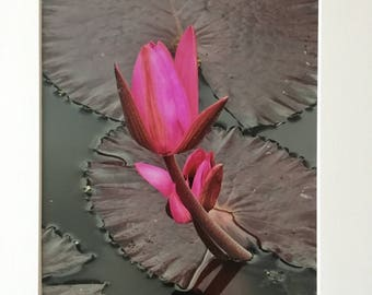 Opening up  pink water lily