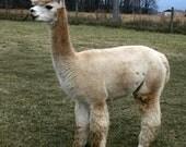 Washed Alpaca Fleece from Estrella - 5 ounces