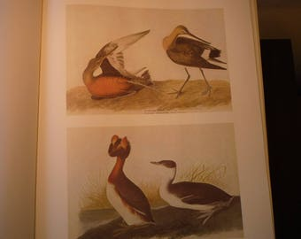 Hudsonian Godwit Horned Grebe - Audubon Color Print from original 1830s painting - beautiful birds - gift for birders nature lovers