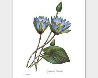 Blue Water Lily Art, Lotus Print (Flower Illustration, Asian Wall Art) -- Pierre Redoute