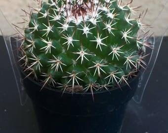 Cactus Mamillaria mystax