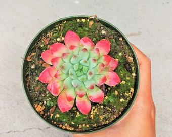 Echeveria Blue Elf Succulents Blue Elf Plants Real Indoor Plant tip leaves Succulents Exotic Succulent Rare Plant Hybrid Sedums Green Pink