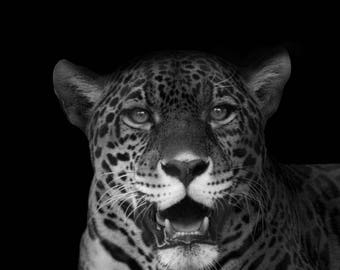 Exotic Jaguar Print, Big Cat, Black and White Zoo Photography, Wildlife and South American Animal Home Decor