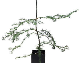 TreesAgain Potted Redwood Tree - Sequoia sempervirens - 12 to 24+ inches
