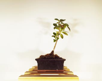 Green Island Ficus bonsai in a onynx colored pot. This bonsai is easy to care for. Perfect for a indoor display