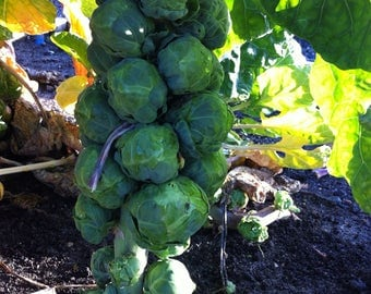 Brussels Sprouts Long Island Improved (200 thru 2LB seeds) THE Best Brussel! 131