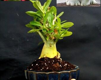 Adenium obesum Bonsai (Desert Rose) - 8 year old plant