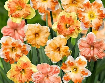 8 Butterfly Daffodil Bulb Mixture - Jumbo Size 14-16cm - Fall Planting for Spring Blooms