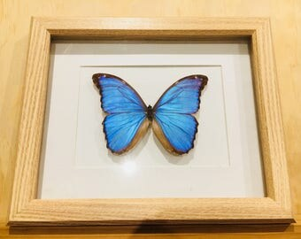 Stunning Giant Morpho in a wooden shadowbox frame.