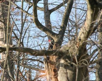 Peeping Pileated Woodpecker
