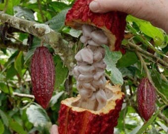10 SANCHEZ CACAO SEEDS Best Variety! *Rare* *Exotic* *Organic* Theobroma cacao