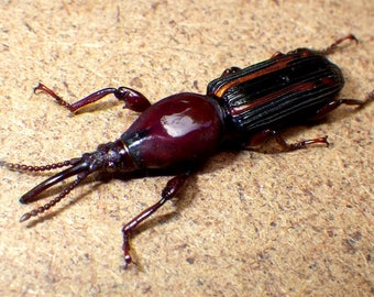 Real Snouted beetle female - Brentidae sp, real beetle - curiosities - preserved specimen - dried insects - Beautiful insect, curculionidae