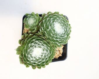 "Succulent Plant - Hen's and Chicks Sempervivum Arachnoideum Cobweb Plant' Growing in 3.5"" Square Nursery Pot"