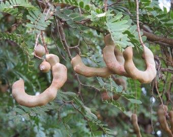 50  Seeds Tamarindus indica, Indian date, madeira mahogany, tamarind tree